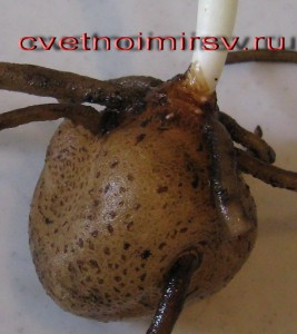 Клубень замиокулькаса