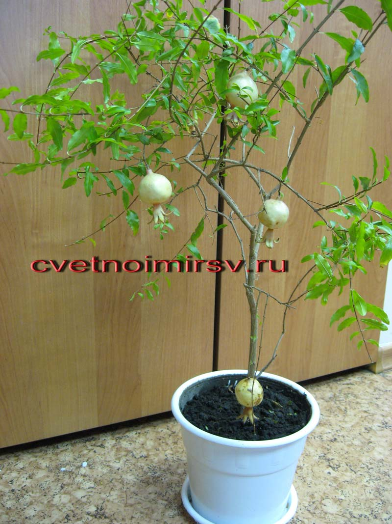 гранат комнатное растение
