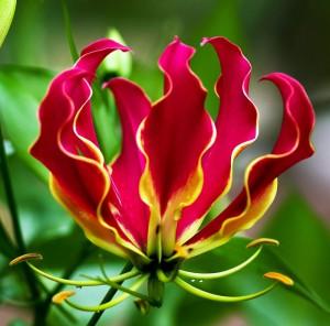 Цветок глориоза
