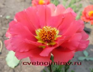 Цветки портулака1