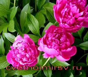 Цветок пиона1