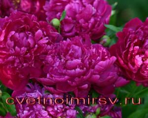 Цветки пиона2