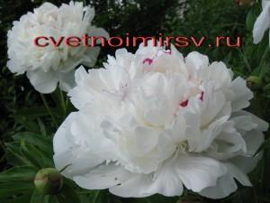 Цветок пиона3