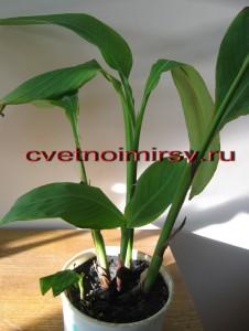 Выращивание канн