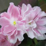 Розовый-Жемчуг