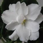 Rhapsody-in-White